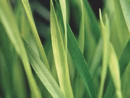A klímaváltozás hatása az őszi vetésű növényekre