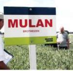 A SAATEN-UNION őszi búzája, a MULAN Európa vezető búzafajtája