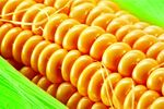 Saaten-Union kukoricahibridek különleges vetőmagkezeléssel