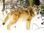 Kezdetben volt a farkas