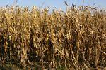 A múlt év kukoricás tapasztalatai
