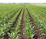 Vezérnövény lett a kukorica