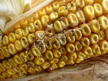 A kukoricamoly okozta nehézségek