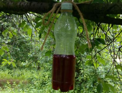 A pettyesszárnyú muslica károkozása a gyümölcstermő ültetvényekben