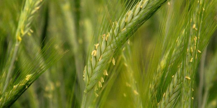Klíma és gabonatermesztés: ez egy jó válasz (lenne)