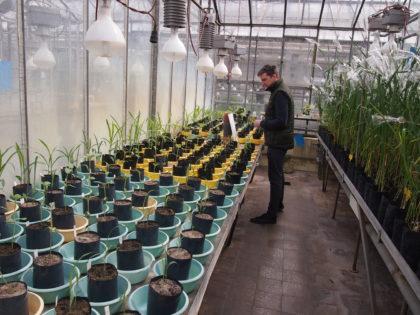 Talajtípusra és szárazságstresszre adott reakciók üvegházakban