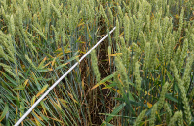 Új herbicid a kalászosok őszi gyomirtására