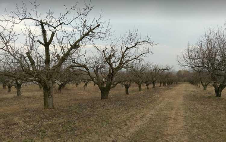 Metszett cseresznyefák