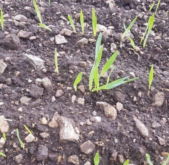 1. kép. Sajnos nem minden talaj alkalmas tökéletesen a gabonának.