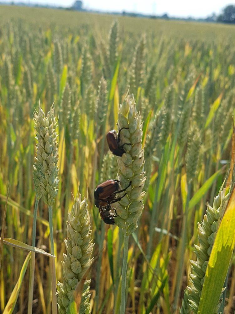 10. kép. A gabonaszipolyok a gabonaszemek rágásával és kitúrásával okoznak kárt.