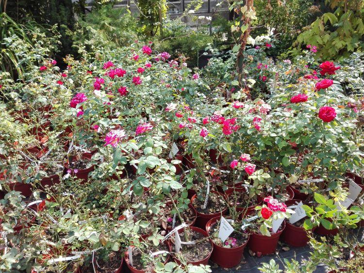 Szelekciós kísérletekhez szaporított rózsák. Fotó: Dr. Fodor Ferenc
