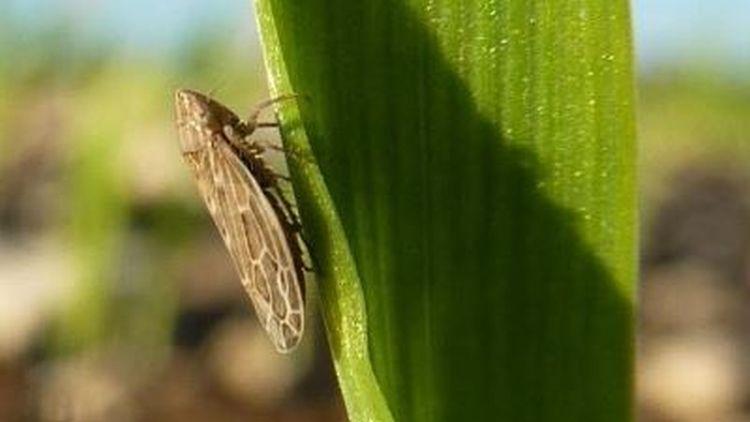 6. kép. Ilyenkor, ősszel a legfontosabb kártevő a csíkos gabonakabóca (Psammotettix alienus). Fotó: internet