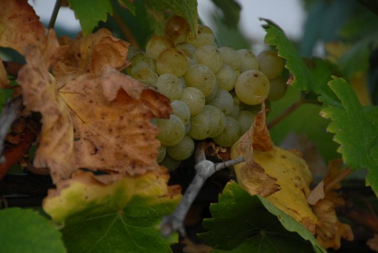 soltvadkerti szőlő