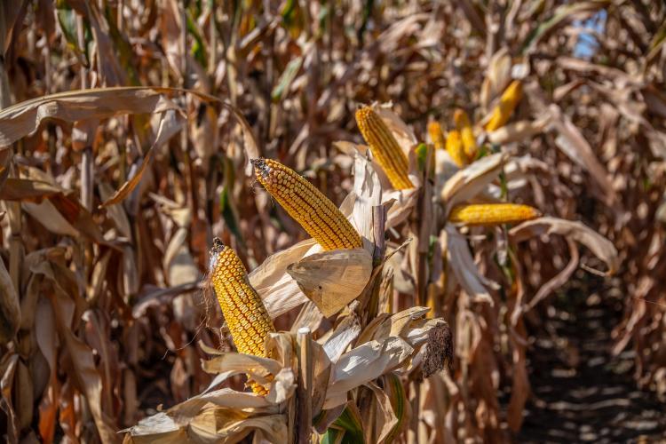 precíziós gazdálkodás - kukorica