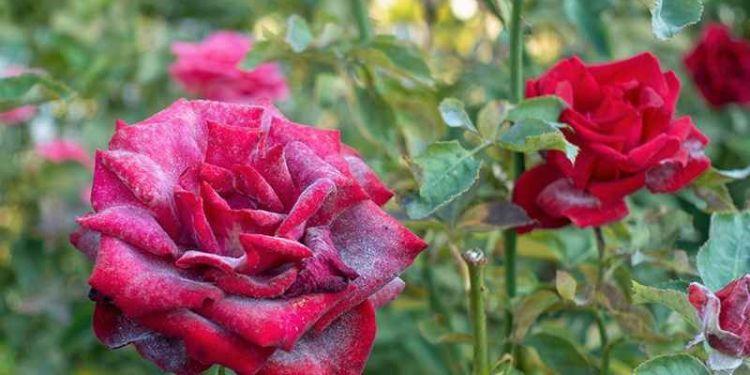 Rózsalisztharmat a virágon (forrás: greenlife.co.ke)