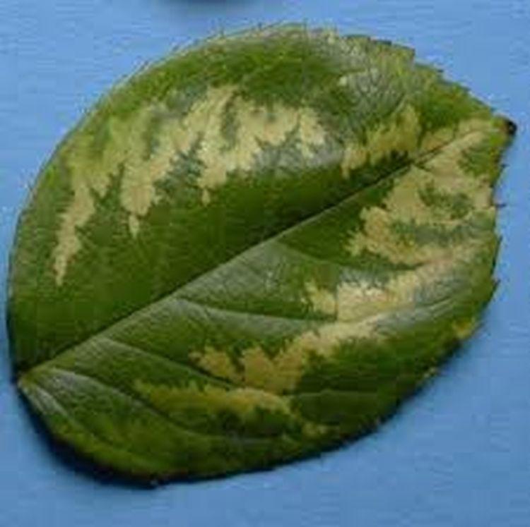 Rózsa-mozaikvírus (forrás: zsigogyorgy.hu)
