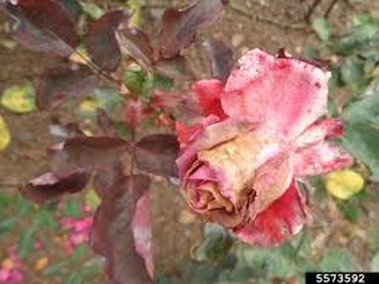 Szürkepenész-fertőzés virágon (forrás: insectimages.org)