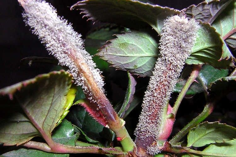 Szürkepenészes rothadás rózsaszáron (forrás: epicgardening.com)