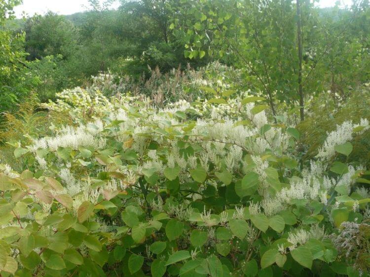 Japán keserűfű (Fallopia japonica)