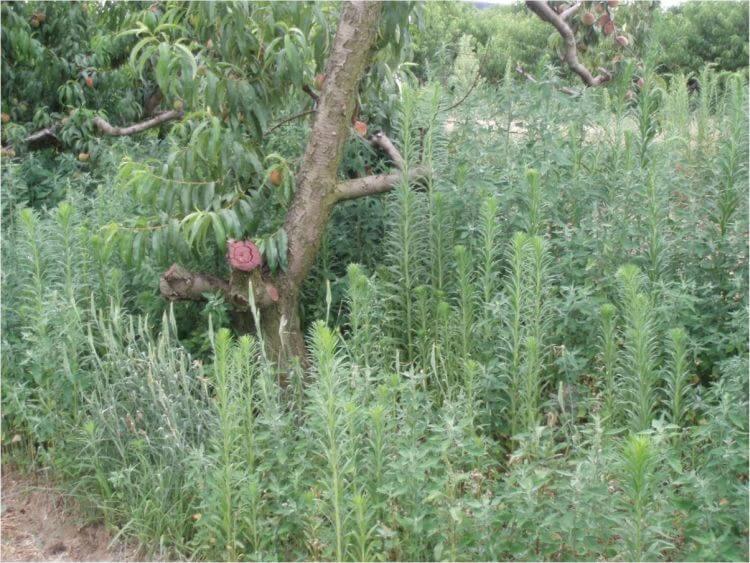 Kanadai betyárkóró (Conysa canadensis) őszibarackosban