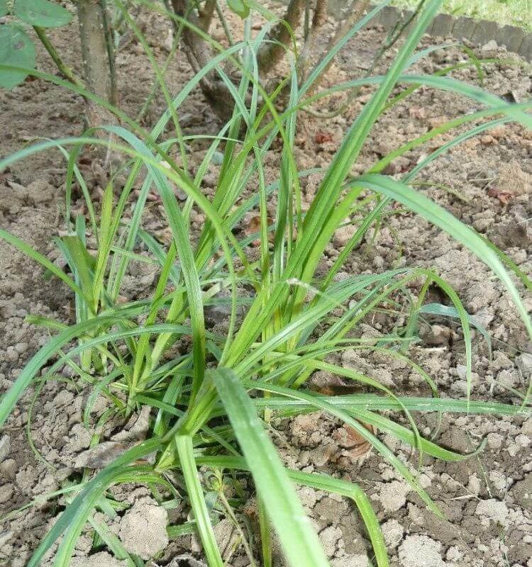 Mandulapalka (Cyperus esculentus) kiskertben