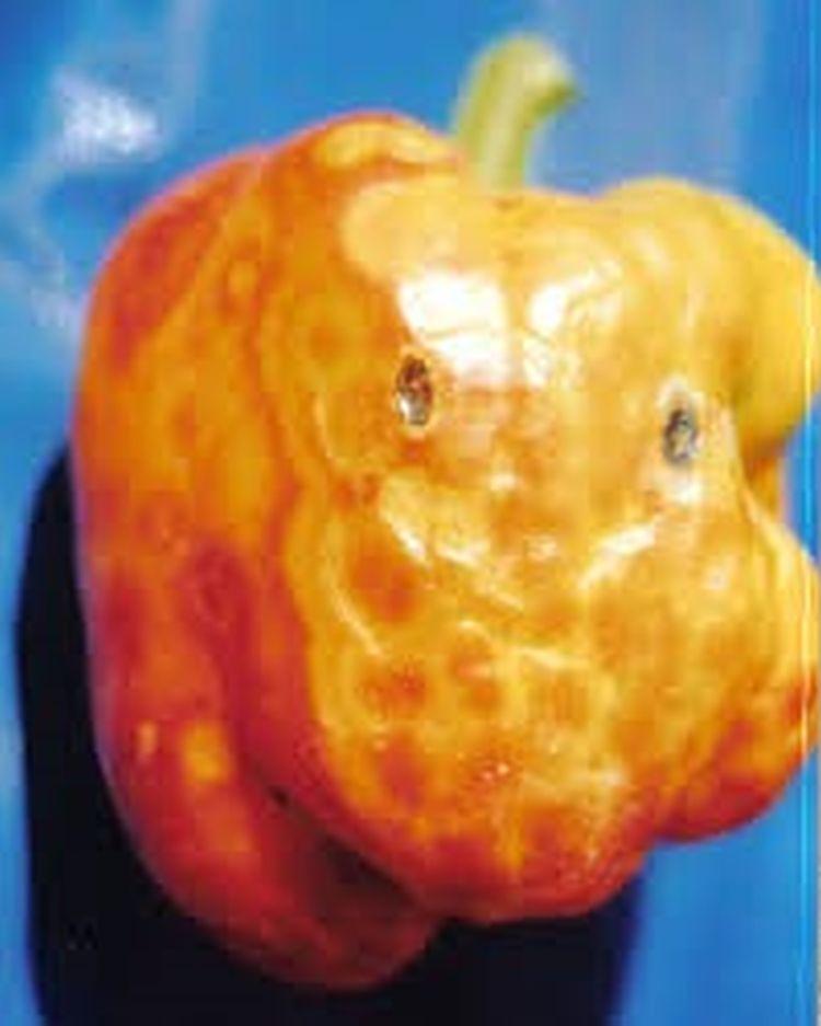 TSWV tünete a paprika termésén