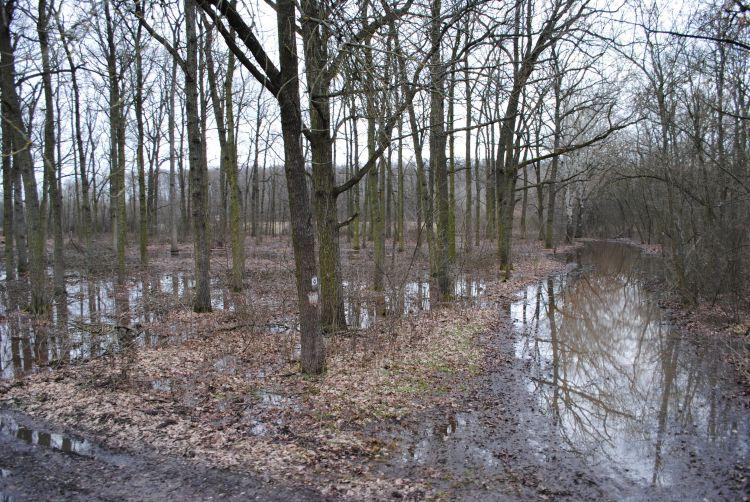 Tavaszi belvíz sziki erdőállományban