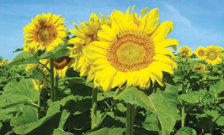 Új mérföldkő a biológiai növényvédelemben