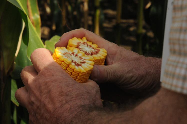 kukorica etanol