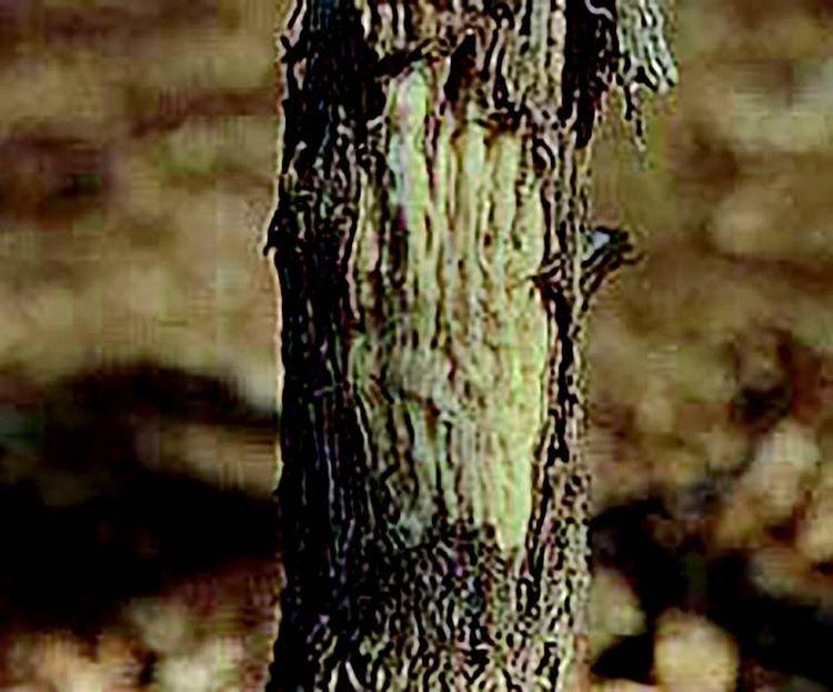 fertőzött fa faszövetei