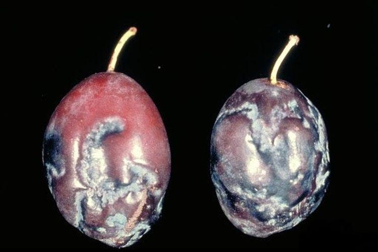 Szilva himlő vírus tünete a gyümölcsön