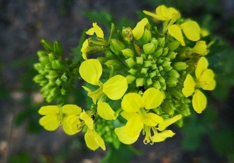 Mustárvirág