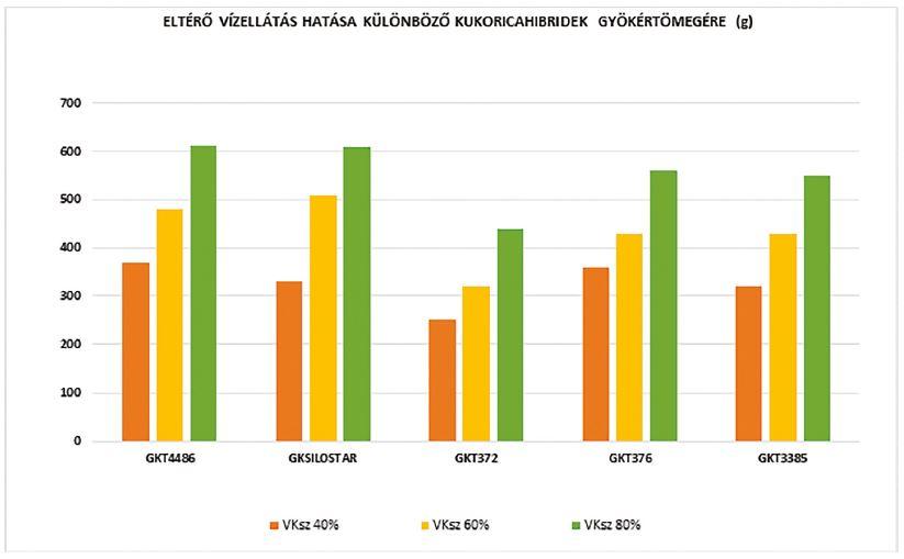 Különböző kukoricahibridek gyökértömege eltérő vízellátási szinten