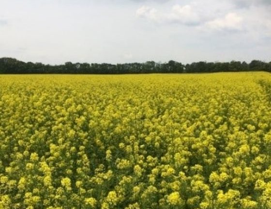Virágzó mustárállomány