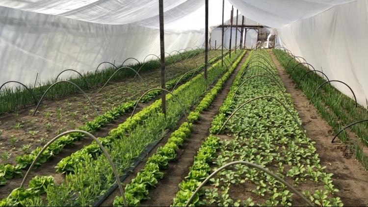Fóliaházas növénytermesztés