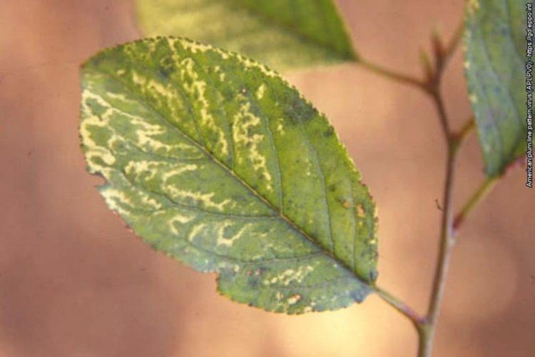 A szilva európai csíkos mozaik vírus tölgylevél-mintázatú tünete szilvalevélen