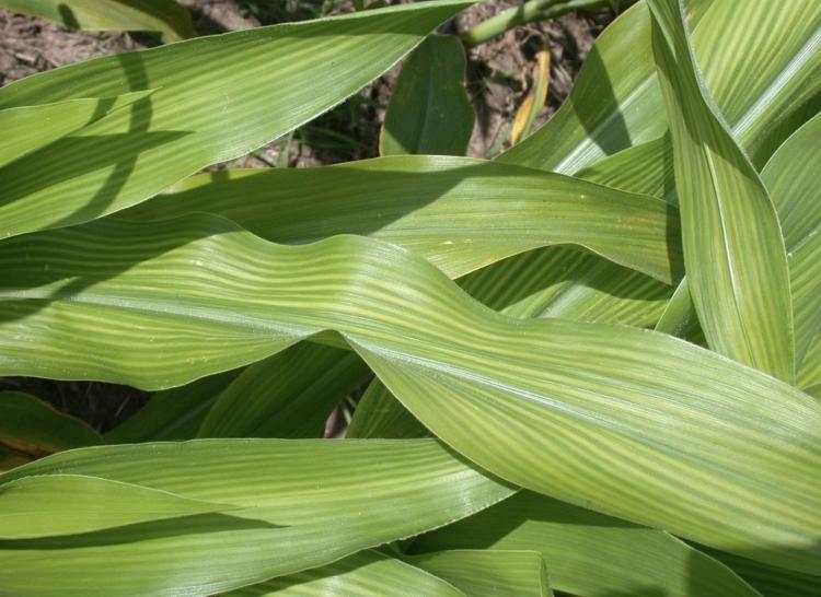 Kukorica kén- és magnéziumhiánya