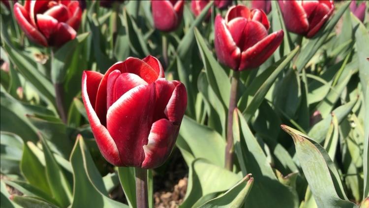 Armani tulipánok (fotó: Kristóf Imre)