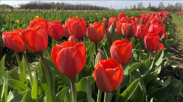 Ad rem tulipánok (fotó: Kristóf Imre)