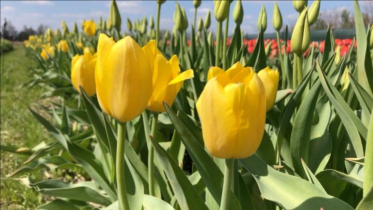 Muscated tulipánok (fotó: Kristóf Imre)