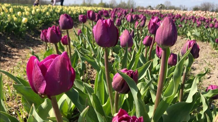 Negrita tulipánok (fotó: Kristóf Imre)