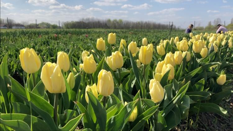 Creme Flag tulipánok (fotó: Kristóf Imre)