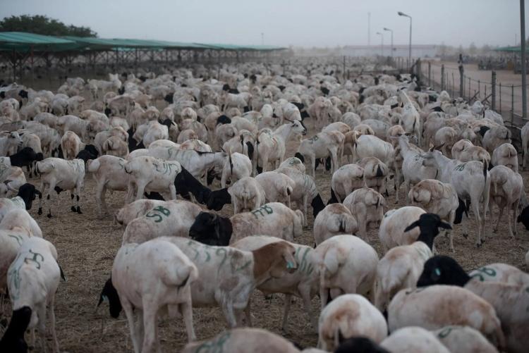 arab juhok