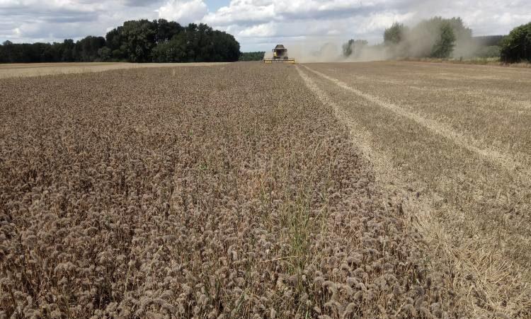 Bíborhere aratás