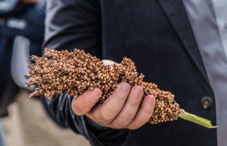 A cirok és a kukorica ámokfutása: sosem látott drágulás