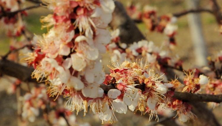 barackfavirágok