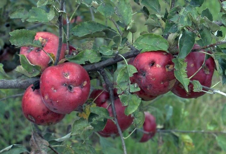 jégverés almán