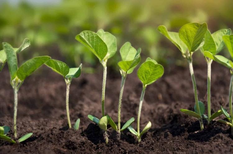 kelő szójanövények