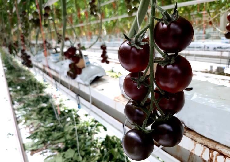 Mezőgazdaság, lila paradicsom