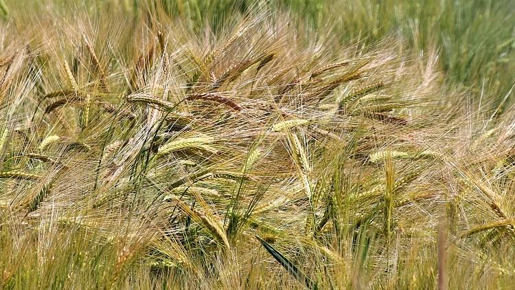 Mezőgazdaság, szenvednek a növények